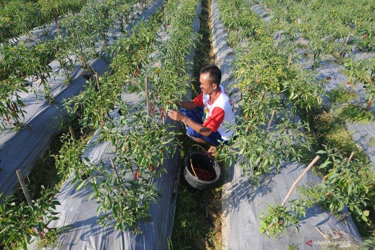 Produksi cabai merah menurun