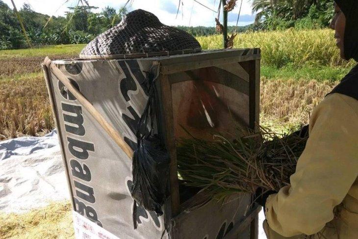 Produksi beras di Lebak surplus untuk delapan bulan