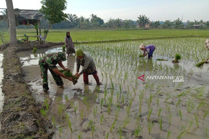 Semangat babinsa Kodim 0204/DS dampingi petani  tanam padi