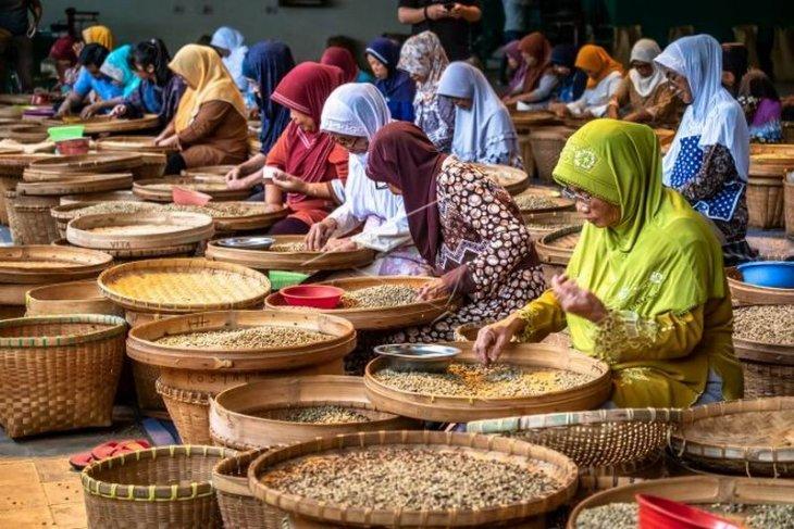 Menyortir biji kopi kering robusta Foto Page 1