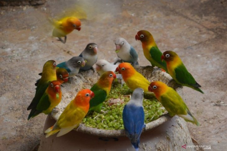 Ternak Burung Lovebird Foto Page 1