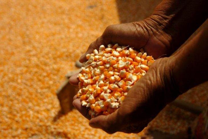 Surplus jagung