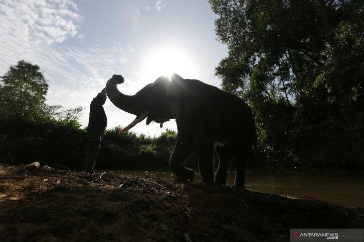 Tiga gajah terjerat di Aceh Timur