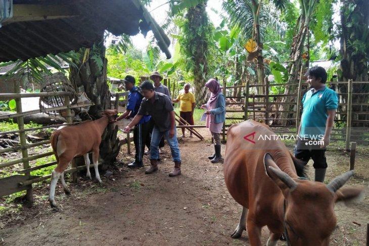 Realisasi sapi bunting di Mukomuko melebihi target