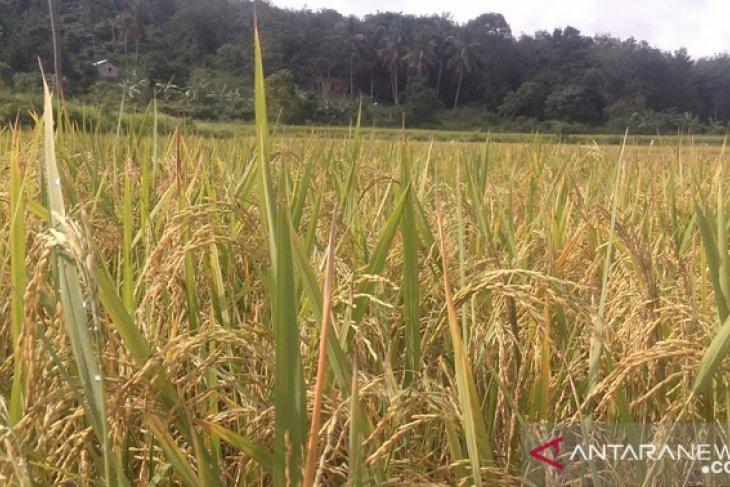 Pemprov Babel asuransikan 8.500 Ha padi sawah