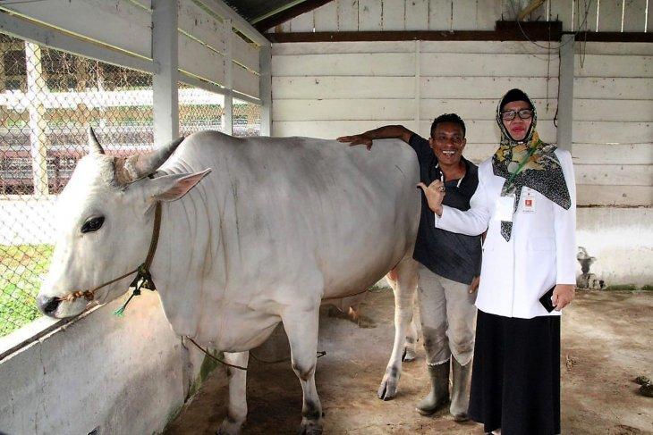 Distan Maluku pastikan hewan kurban aman dikonsumsi