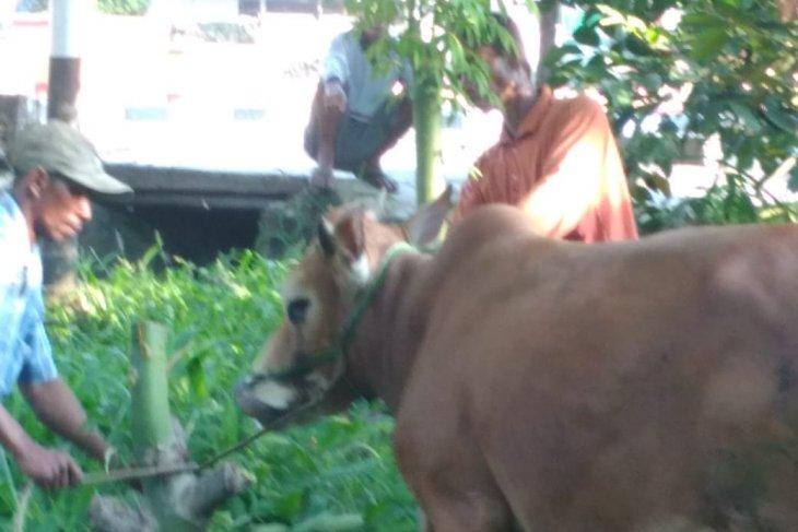 Pemerintah Kabupaten Bangka Tengah salurkan 37 sapi