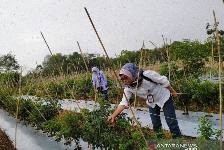 Kalbar kembangkan pertanian bawang putih di perbatasan