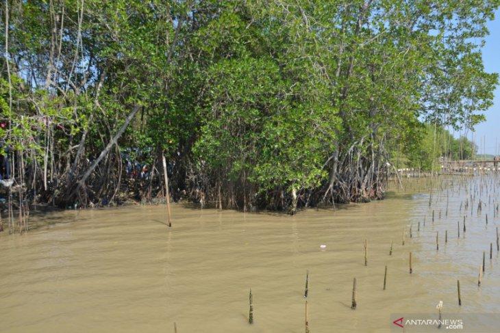 Ratusan ribu pohon bakau tercemar minyak mentah