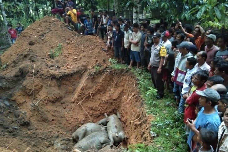19 ekor kerbau yang mati disambar petir dikubur secara massal