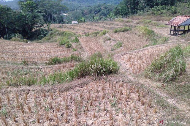 Akibat kemarau, ribuan hektare sawah gagal tanam di Karawang