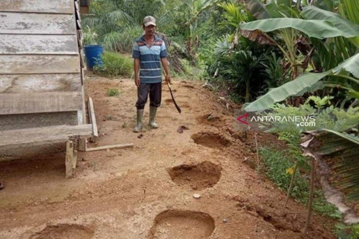12 gajah liar masih berkeliaran di pemukiman warga Nagan Raya