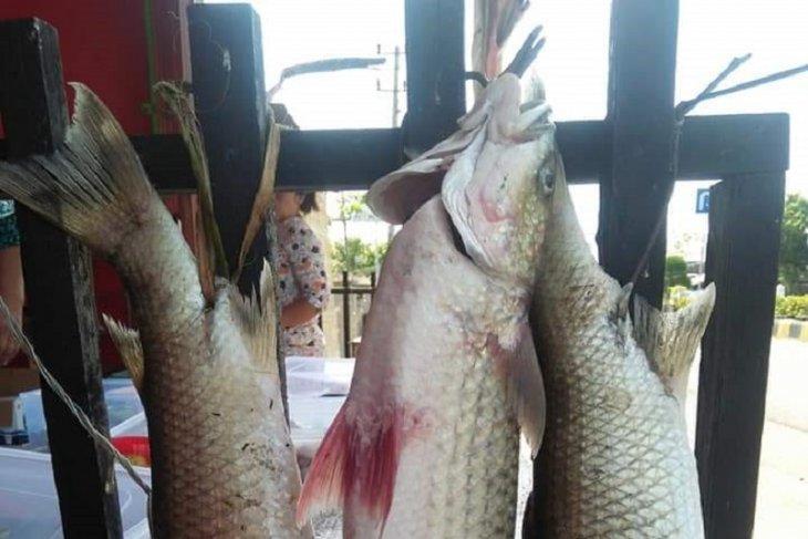 Mukomuko siapkan dana kompensasi bagi pelestari ikan mikih