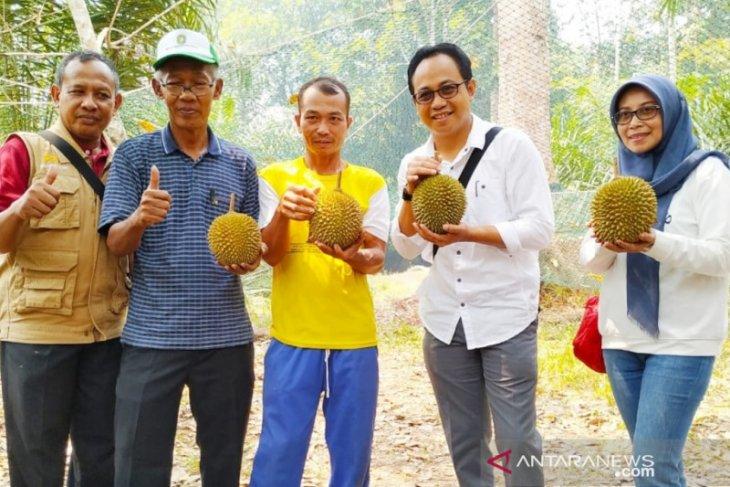 Durian Kunyit pemenang pertama kontes diobservasi