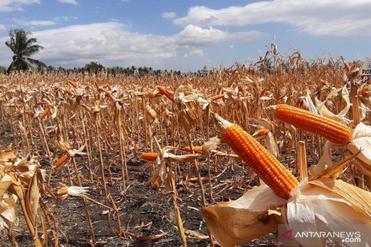 Gubernur Gorontalo minta cadangan beras nasional disalurkan ke terdampak kemarau