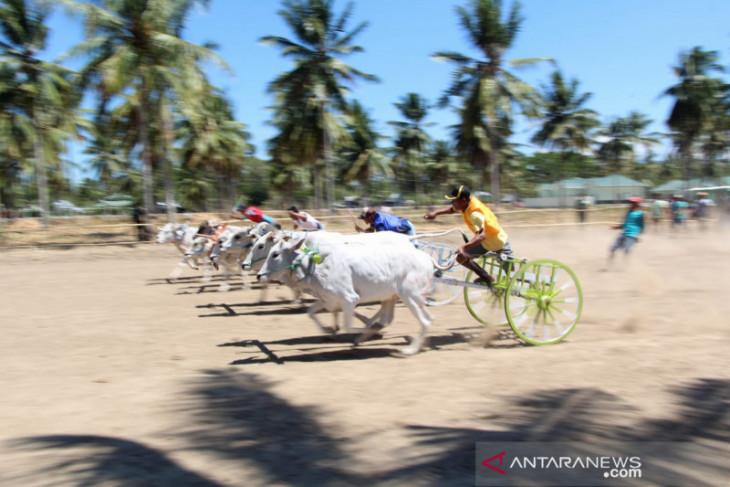 Korem 133 Gorontalo gelar lomba karapan sapi