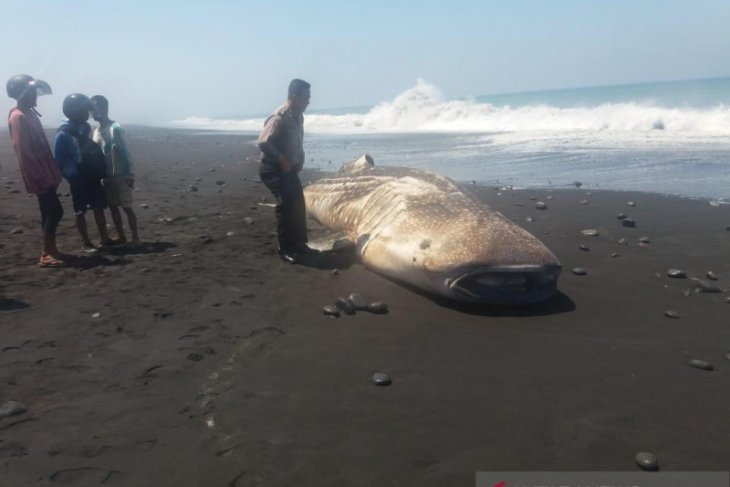 Another endangered whale shark carcass washes ashore East Java waters