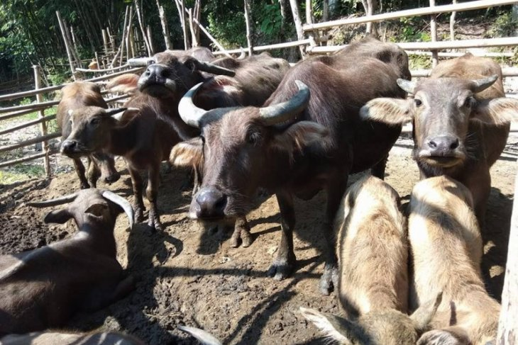 Warga Lebak didorong kembangkan peternakan kerbau