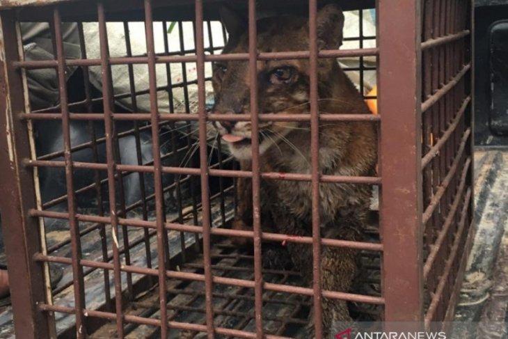 Warga Aceh Selatan temukan seekor  kucing emas