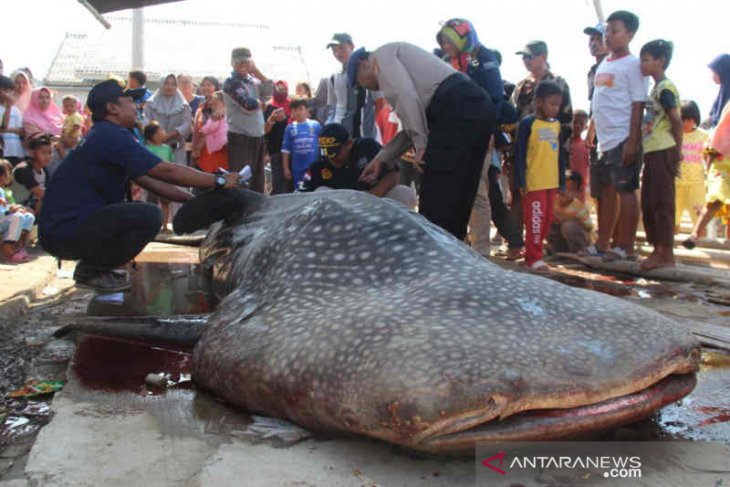 Hiu paus kena perangkap nelayan, kondisinya mati