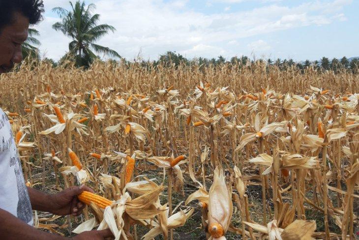 Kodim 1314 dampingi penyaluran benih jagung di Gorontalo Utara
