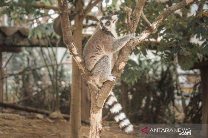 Lemur ekor cincin Madagaskar kini hadir di Puncak Bogor