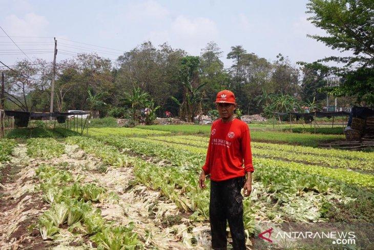 Petani sawi di Jambi gagal panen akibat kemarau