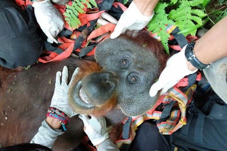 BKSDA evakuasi orangutan dari kebun warga di  Aceh Selatan