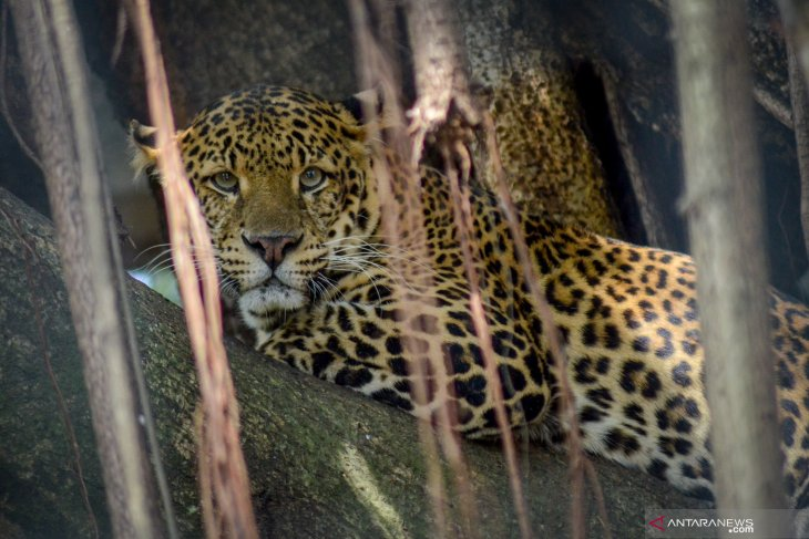 Bekerja di kebun, seorang petani diterkam macan tutul hingga tewas