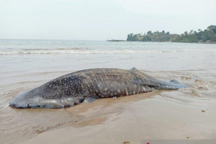 Pascahiu paus terdampar di Pesisir Selatan, BPSPL Padang ambil sampel
