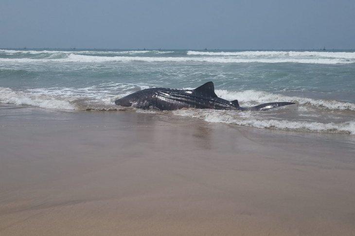 Seekor hiu terdampar di Perairan Wanasalam Lebak Banten