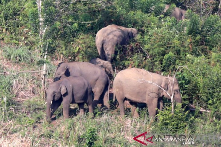 Puluhan gajah liar masih masih bertahan di dua desa di Bener Meriah
