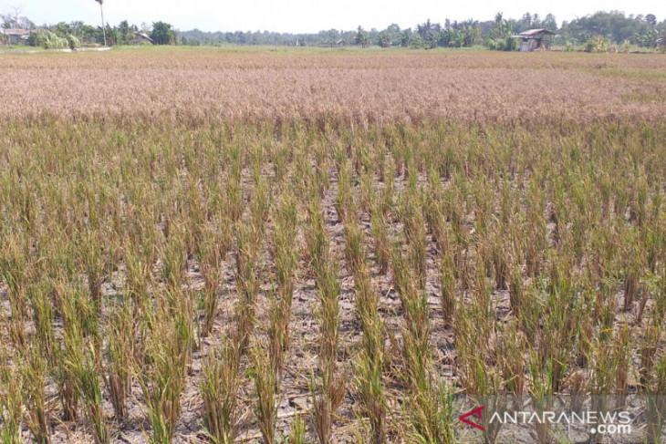 Pemkab Belitung akan siapkan 11.250 kilogram benih padi
