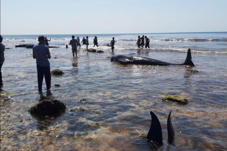 17 ekor paus terdampar di Pantai Menia NTT