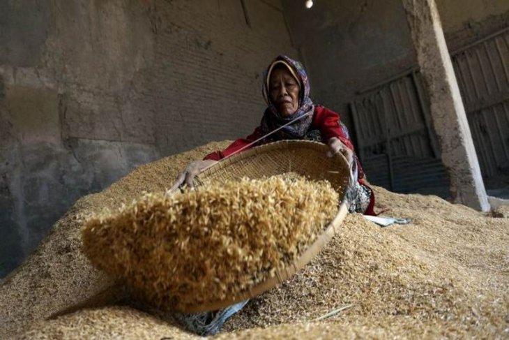Menyortir kulit padi
