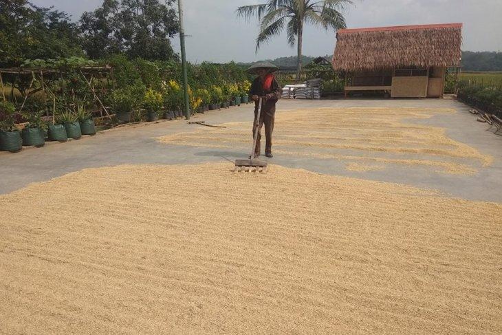 Petani Sukabungah Lebak panen raya padi seluas 120 hektare