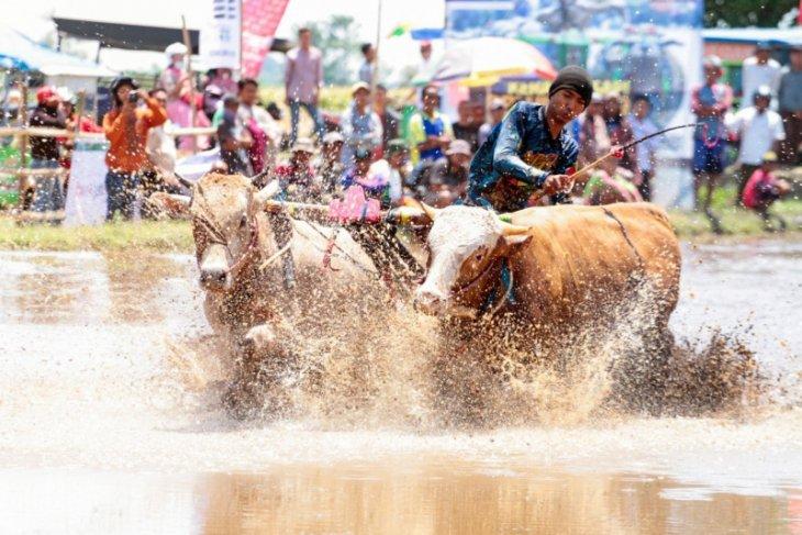 Karapan Sapi Brujul dukung pariwisata Kota Probolinggo