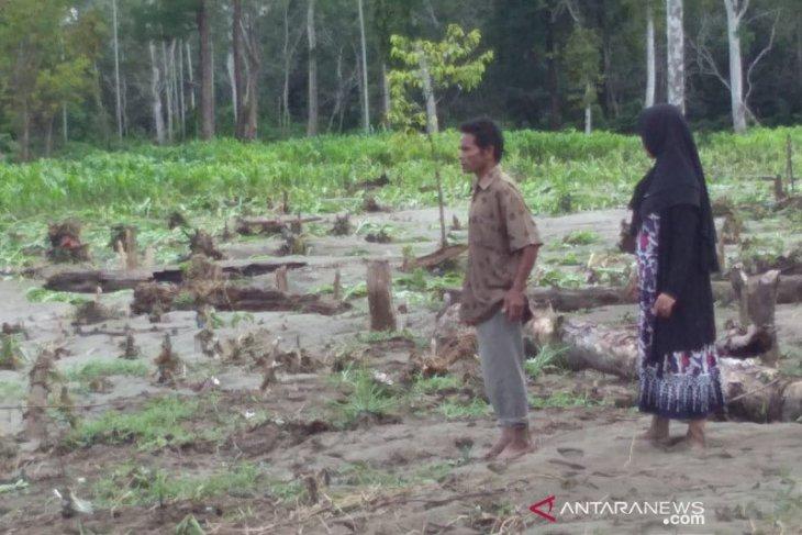 Ratusan hektare tanaman padi dan jagung terendam akibat banjir di Aceh Jaya