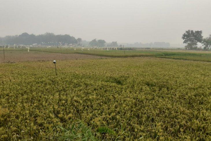 Potensi dan tantangan pengembangan beras merah sebagai pangan fungsional di Kota Jambi