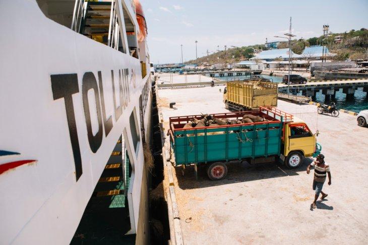 40.310 sapi dari NTT diangkut kapal-Pelni ke Jakarta selama empat tahun beroperasi