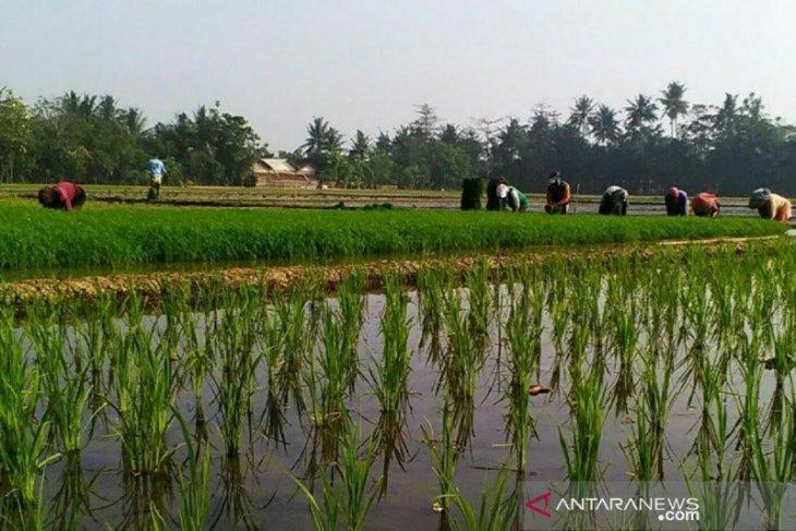 Aceh Timur targetkan produksi padi 250.789 ton