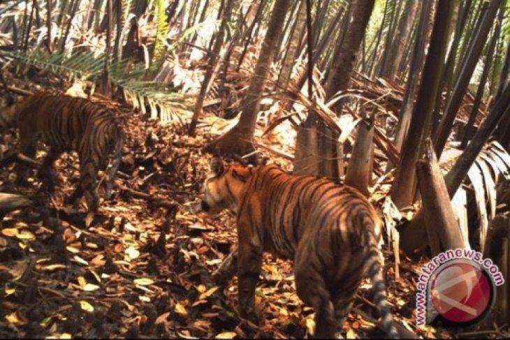 Waduh! BKSDA temukan jejak harimau di Tapanuli Selatan