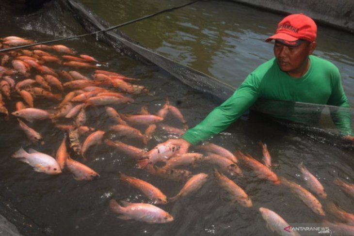 BI: ikan nila dan daging ayam sumbang inflasi Jambi Oktober 2019