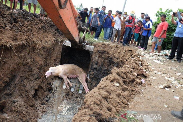 Penguburan bangkai babi