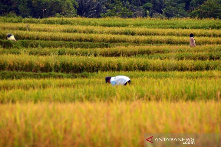 Petani Purwakarta diimbau siap-siap tanam padi