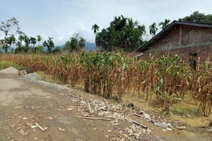 12 HA lahan padi dan jagung di Aceh Tenggara rusak akibat banjir