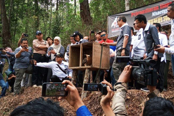 Javanese eagle population in Mt Ijen drops drastically