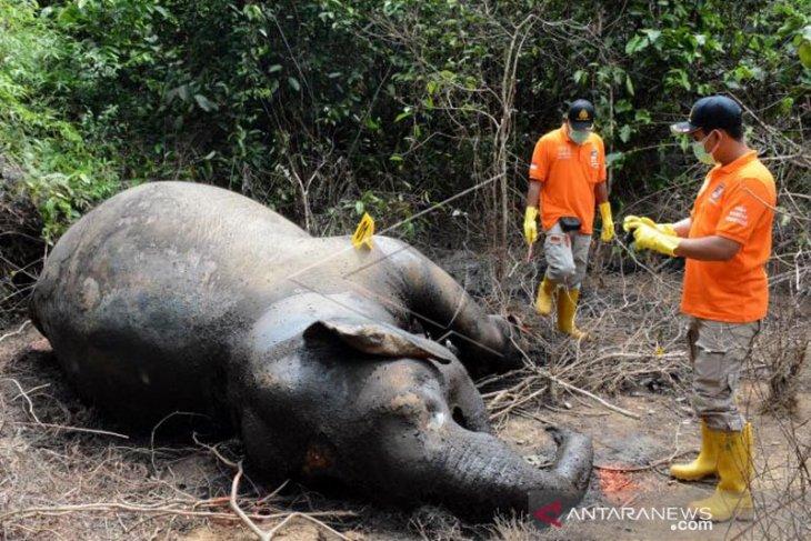 Gajah sumatera mati di Aceh Timur