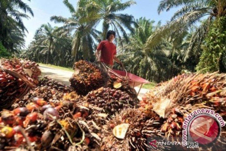 Harga minyak sawit mentah dan tandan buah segar sawit  Jambi naik