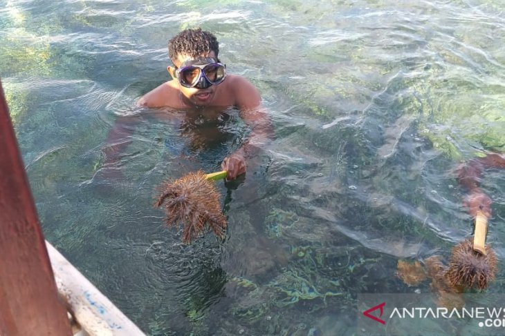 Bintang laut berduri ancaman serius terumbu karang